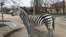 Lekopott, alig kivehető a friss zebra Budaörsön